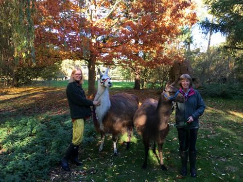 Our fun llama experience with Norfolk Llamas