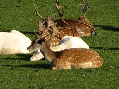 Fallow deer at Houghton Hall