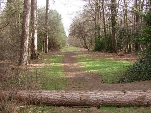 Pine forests on the Peddars Way trail