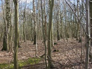 Woodland on the Peddars Way