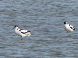 Avocets at Titchwell Marsh
