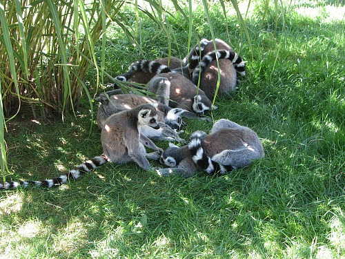 Lemurs seeking shade at Banham Zoo