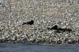 Oyster Catchers on Blakeney Point