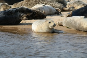 The Seals in Norfolk