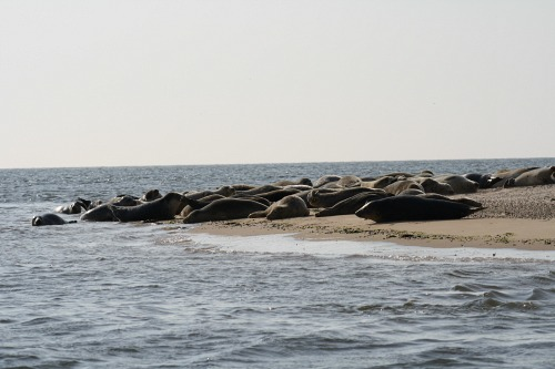 Plentiful seals at Blakeney Point in the summer and winter