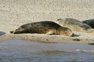Seals in Norfolk in the summer