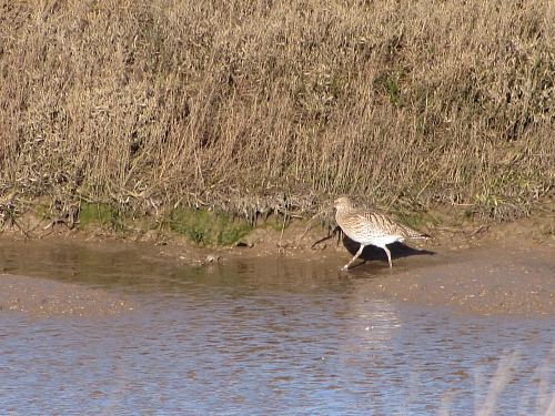 Camoflaged curlew in one of the many creeks