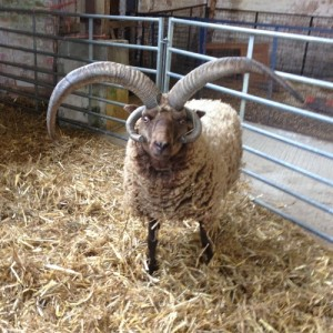Church Farm Rare Breeds Centre