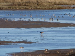 Red Shank at Cley Marshes
