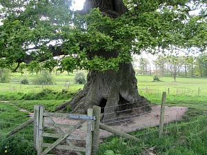 The sessile Oak