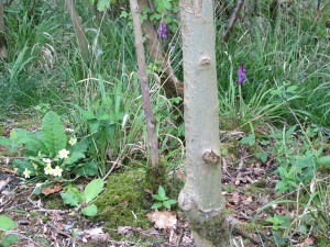 Foxley Wood flora and fauna