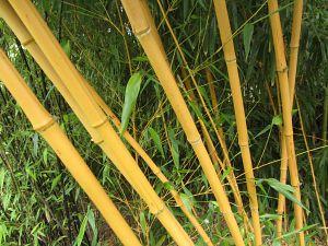 Norfolk Bamboo