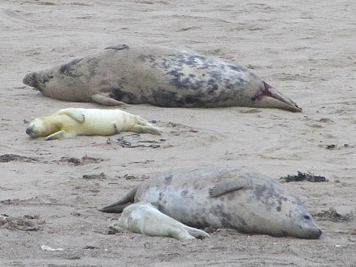 Newly born seal pups have yellow fur