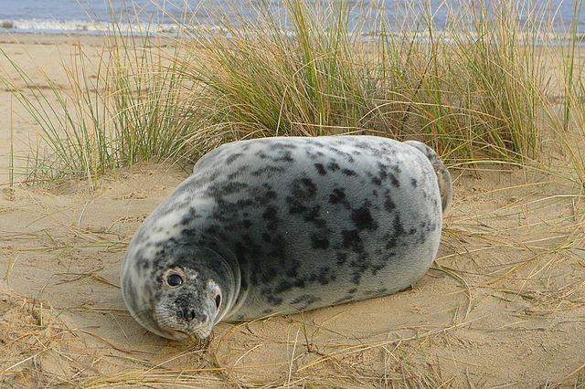 A seal at Horsey Beach