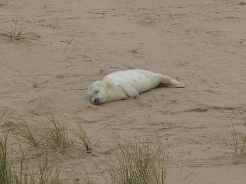 A cute seal pup at Horsey Gap in Norfolk