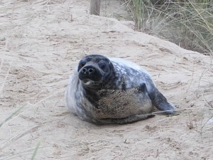 A slightly older seal pup on the path at Horsey Gap