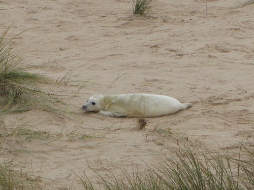 Little seal pup on Horsey beach