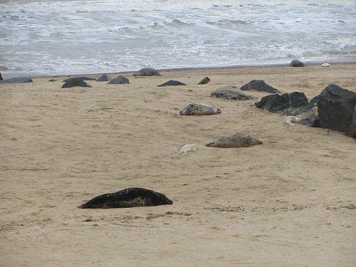 Seals everywhere on Horsey beach, East Norfolk