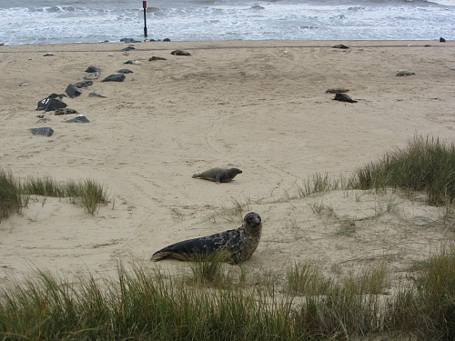 Grey seals all over the beach at Horsey