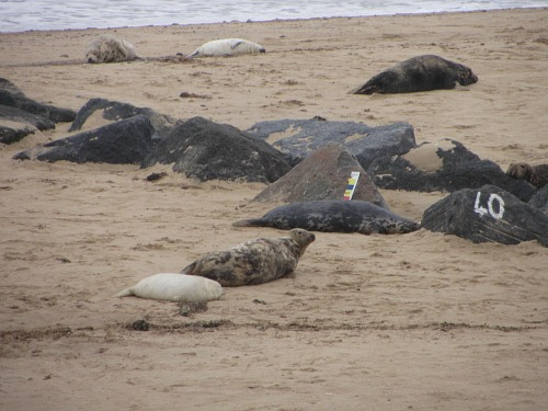 The seals on Horsey beach in the winter
