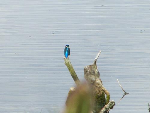 Kingfishers at Strumpshaw Fen RSPB site