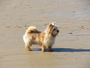 Mutley on Brancaster Beach