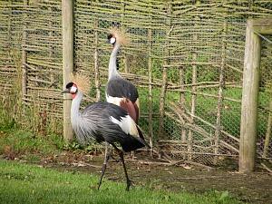 Pensthorpe East African Cranes