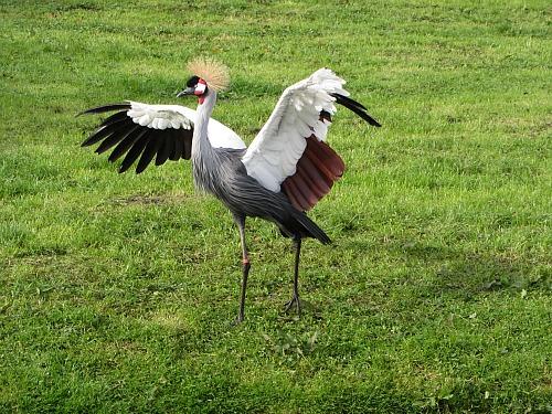 East African Crane at Pensthorpe Waterfowl Park