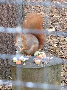 The endangered red squirrels to be found at Pensthorpe