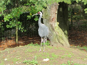 White Naped Cranes at Pensthorpe Waterfowl Park