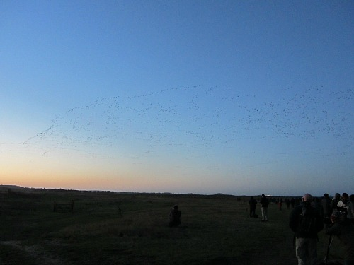 The pink footed geese flying over RSPB Snettisham