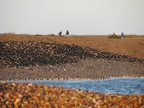 A bank of Knot in front of the oyster catchers
