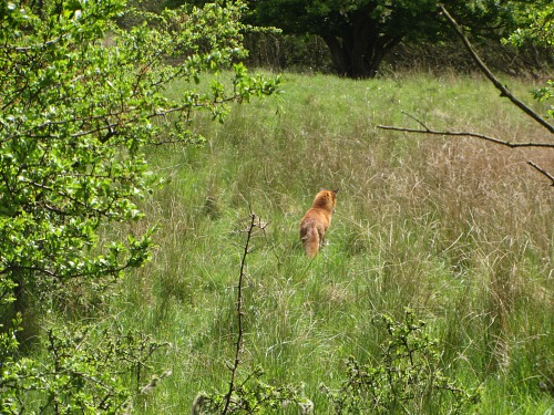 A fox on the Pingo Trail