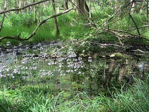 Water violets in the pingo ponds