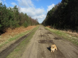 Muttley in the wood along the Peddars Way Long Distance Trail