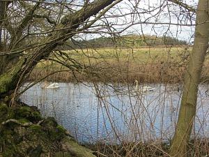 Swans along the Peddars Way