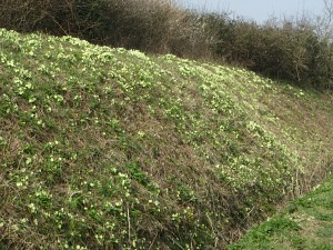 Bank of primroses along the Peddars Way