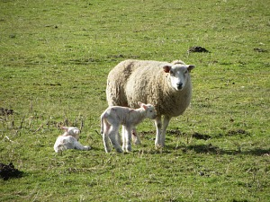 Lambs along the Peddars Way