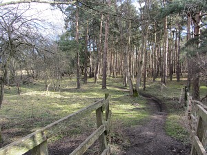 Woodland on the Peddars Way near Thetford