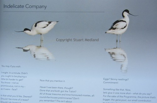 The Avocets which feature in Rings in the Shingle