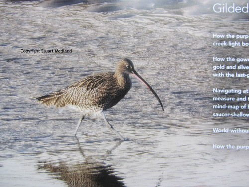 The beautiful curlew which you'll see on the North Norfolk Coast