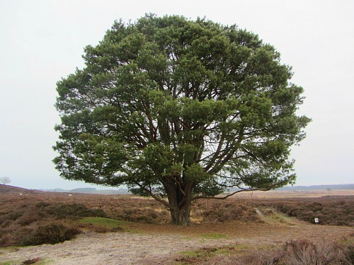 The lone pine tree on Roydon Common