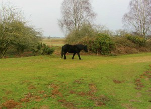 Wild ponies on Roydon Common