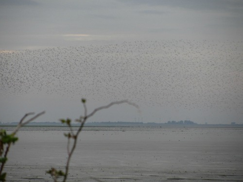 Wading birds at Snettisham