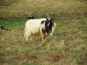 Grazing goats at Bard Hill