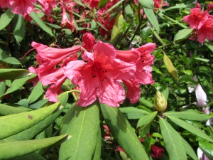 Spectacular rhodedendrons at Sandringham House