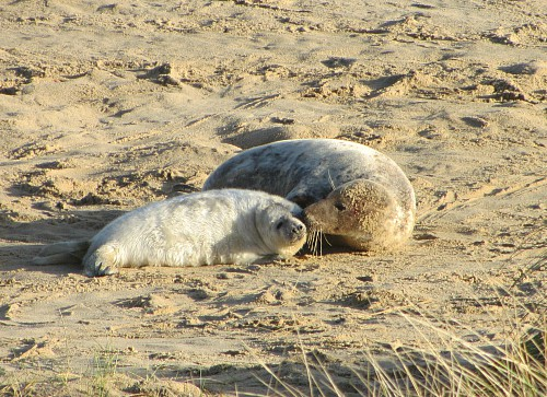 The seals and their pups at Horsey beach