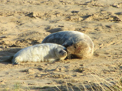 The seals and their pups at Horsey beach, close to the Norfolk Broads