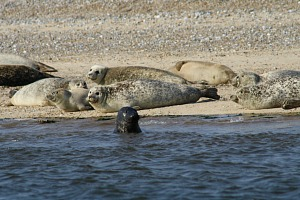 Seals at Blakeney Point, North Norfolk