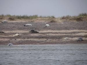 Blakeney Point Grey seals on the beach